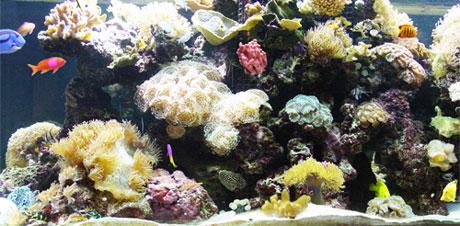reeftown berghia nudibranchs for saltwater aquariums eliminate